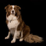 Border Collie on black. A purebred chocolate brown and white Border Collie dog isolated on black background Royalty Free Stock Photos