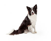 Border Collie Black and White Stock Image