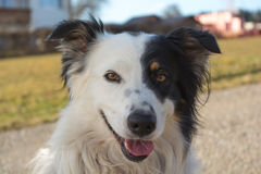 Border Collie with black and white face Stock Images