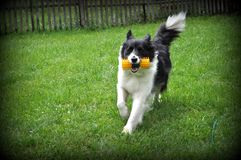 Border collie. Black and white border collie playing Royalty Free Stock Photo