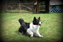 Border collie. Black and white border collie playing Royalty Free Stock Photos