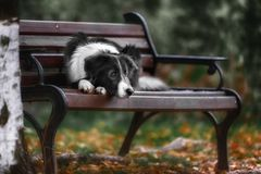 Border collie blanc noir mignon Photographie stock