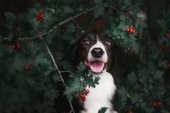 Border collie blanc noir mignon Photo libre de droits
