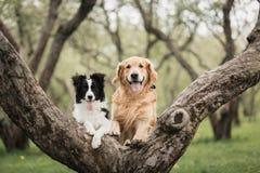Border collie blanco y negro adorable y golden retriever en el árbol imagen de archivo libre de regalías
