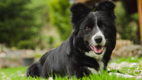 Border Collie. With blurry background royalty free stock photos