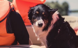 Border collie on a boat Stock Photography