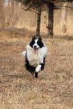 border collie bonito: corrida Fotos de Stock Royalty Free