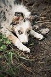 Border collie bonito del perrito Fotografía de archivo libre de regalías