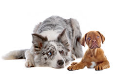 Border collie and bordeaux dog puppy Stock Photos