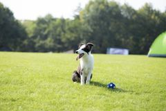 Border Collie. Is a shepherd dog originating from the border of Scotland and England, which mainly assists farm herding. It is the most common species of Collie royalty free stock image