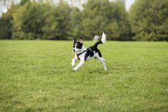 Border Collie. Is a shepherd dog originating from the border of Scotland and England, which mainly assists farm herding. It is the most common species of Collie royalty free stock photography