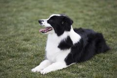 Border Collie. The border Shepherd Border Collie, native to the Scotland border, is one of the Collie shepherds, with a strong shepherd instinct, an instinctive royalty free stock photo