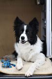Border collie in box. Border collie dog in car box Royalty Free Stock Images