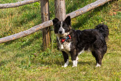 Border Collie Breed. Near the fence of sheepfold in the Apuseni Mountains Stock Images
