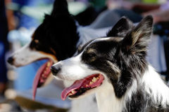Border Collie Buddies. A pair of working Border Collies pant in the sunshine as they watch a rural Stock Dog Trial competition from the sidelines and wait their stock photos