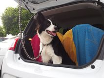 Border Collie in the car Stock Photo