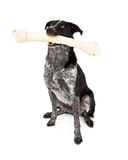 Border Collie Carrying Bone Stock Photo