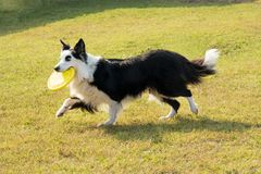 Border Collie carrying frisbee. Border Collie dog carrying yellow frisbee while playing in park, alone on green lawn, viewed from the side stock photos