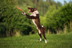 Border collie catches flying frisbee disk Stock Image