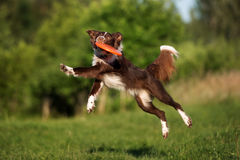 Border collie catches flying frisbee disk Royalty Free Stock Photos