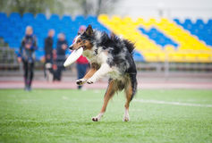 Border collie  catching disc Stock Photo