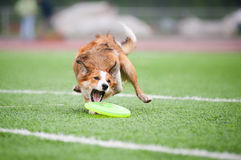 Border collie  catching disc Stock Photos