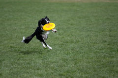 Border Collie catching frisbee. In a grass field stock photos