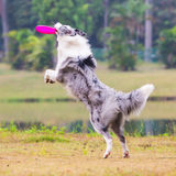 The Border Collie is catching the frisbee. Stock Image