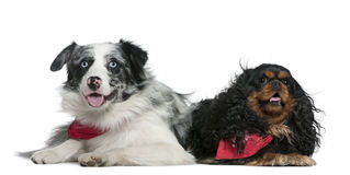 Border collie and Cavalier King Charles Spaniel. 11 months old and 4 years old, lying in front of white background stock image