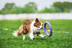 Border Collie chasing a puller toy. Trying to catch it Royalty Free Stock Images