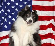Border collie che gioca sulla bandiera americana Fotografia Stock