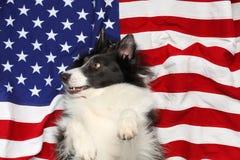 Border collie che gioca sulla bandiera americana Fotografia Stock Libera da Diritti