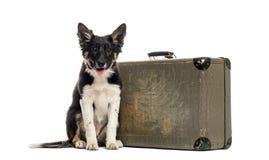 Border collie che si siede accanto ad una vecchia valigia Fotografia Stock Libera da Diritti