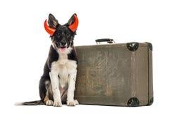 Border collie che si siede accanto ad una vecchia valigia Immagini Stock