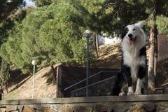 Border collie che si siede sulla parete di pietra nel parco e nello smille Immagini Stock
