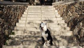 Border collie che si siede sulle scale parteggia dalla parete di pietra nel parco Fotografia Stock Libera da Diritti