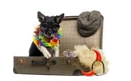 Border collie che si siede in una vecchia valigia d'annata in pieno del accesso Fotografia Stock Libera da Diritti