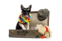 Border collie che si siede in una vecchia valigia d'annata in pieno del accesso Immagine Stock