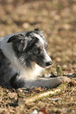 Border Collie Chewing A Stick Royalty Free Stock Photography