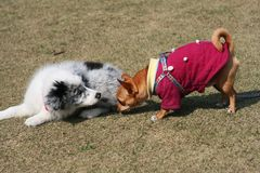 Border Collie and Chihuahua Royalty Free Stock Image