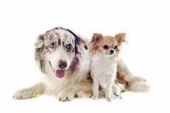 Border collie and chihuahua Stock Images