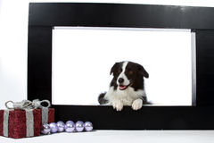 Border collie and christmas decorations Stock Image