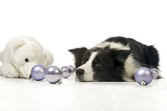 Border collie and christmas decorations Stock Images