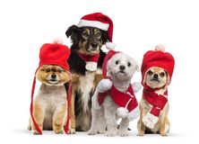 Border collie with christmas hat and scarf. Maltese wearing Santa outfit, Groomed Pomeranian dog sitting and wearing a red bonnet, Chihuahua wearing christmas stock photos