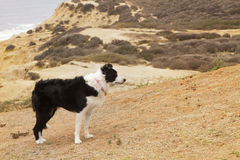 Border Collie on a Cliff Royalty Free Stock Photo
