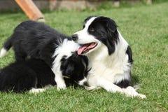 Border collie com cachorrinhos Foto de Stock Royalty Free