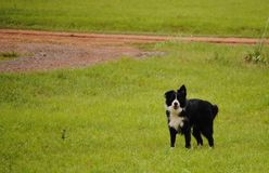 Border collie com fundo verde Fotografia de Stock Royalty Free