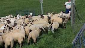 Border collie commandant un troupeau de moutons pendant le jour de ferme banque de vidéos
