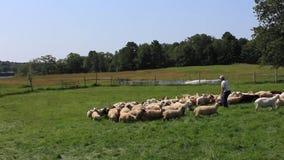 Border collie commandant un troupeau de moutons pendant le jour de ferme clips vidéos
