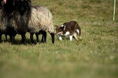 Border collie con il branco delle pecore Fotografia Stock